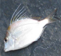 Longspine porgy (Stenotomus caprinus) Photo