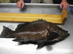 Marbled grouper (Dermatolepis inermis) Photo
