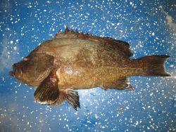 Marbled grouper (Dermatolepis inermis) Photo