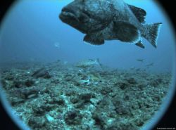 Marbled grouper (Dermatolepis inermis) in foreground; scamp grouper (Mycteroperca phenax) in center distance; and assemblage of other fish. Photo