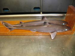 Dogfish shark (Squalus sp.) Photo