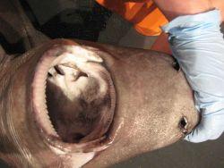 A squaliform shark (Centrophorus sp.) Photo