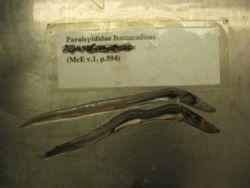 Lestrolepis intermedia, a bathypelagic species of barracudina . Photo