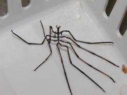 Pycnogonid (sea spider) Photo