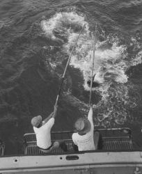 Catching Hawaiian tuna in the racks on the BCF research vessel HUGH M Photo