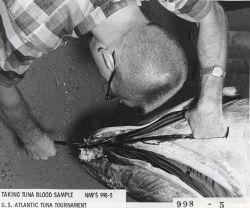 Scientist taking tuna blood sample from tuna caught during U.S Photo