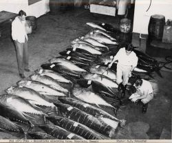 Scientists examining tuna Photo