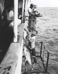 Yellowfin tuna being hauled aboard Photo