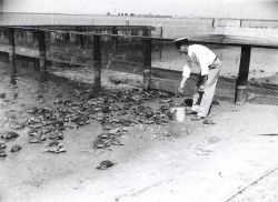 Captain Hatsell feeding adult terrapin in feeding pen. Photo