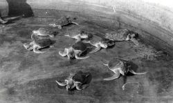 Loggerhead turtles 4 years old. Photo