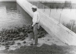 Captain Hatsell, foreman, feeding adult terrapin on scrap fish. Photo