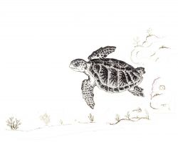 Drawing of Kemp's Ridley sea turtle Photo