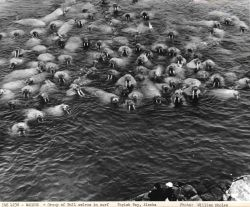 Group of bull walrus in the water with fisheries observers on rocks. Photo
