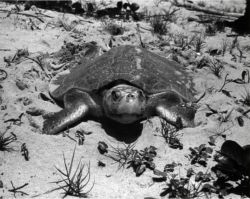 Nesting Ridley turtle Photo
