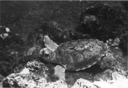 Loggerhead turtle Photo