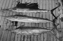 A sailfish (Istiophorus orientalis) 86 lb.; a striped marlin (Makaira mitsukurii 145 lb.; and bottom, a Pacific blue marlin (Makaira ampla) 136 lb Photo