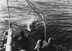 Minke whale (Balaenoptera acutorostata) Photo