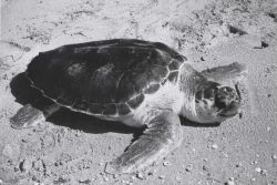 Loggerhead turtle on the beach Photo