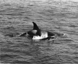 Killer whale and calf Photo