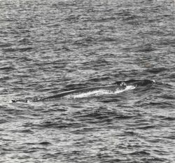 Fin whale (Balaenoptera physalus) Photo