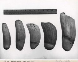 Sperm whale teeth Photo