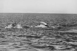 Mating gray whales Photo