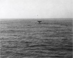 Gray whale flukes thrown high on deep