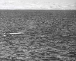 Three adult gray whales, probably two males and one female, meandering along in social group preparatory to mating activities. Photo
