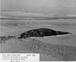 Dead gray whale calf Photo