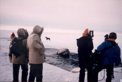 Attempting to rescue gray whales trapped in the ice in the Beaufort Sea Photo