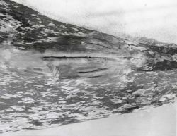 Genital area of gray whale showing mammary grooves typical of the female. Photo