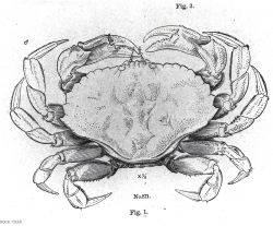 Drawing of rock crab (Cancer irroratus) Photo