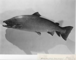 Atlantic salmon (Salmo salar) Photo