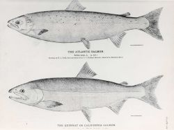 Drawings of Atlantic salmon (Salmo salar) and the Quinnat or California salmon Photo