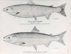 Drawings of Atlantic salmon (Salmo salar) and the Quinnat or California salmon Photo