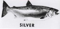Silver salmon Photo