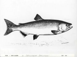 King salmon or chinook salmon drawn by G Photo