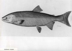 Humpback salmon Photo
