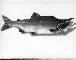 Humpback salmon (male) (Oncorynchus gorbuscha) caught at Amchitka Island. Photo