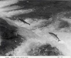 Sockeye salmon leaping falls Photo