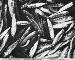 Salmon fingerlings at Leavenworth hatchery Photo