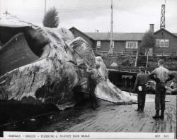 Flensing a 78-foot long blue whale Photo
