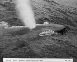 Blue whale blowing under bow of catcher boat Photo