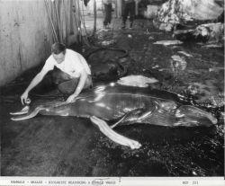 Biologist measuring a whale fetus. Photo