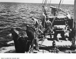 When a whale is killed, it is brought alongside the hunter-killer boat and inflated with air to keep it afloat. Photo