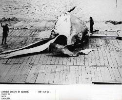 At a processing facility the carcass of the whale is stripped of its outer layer of fat, or blubber Photo