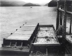 Harvesting Alaska's fish crop Photo
