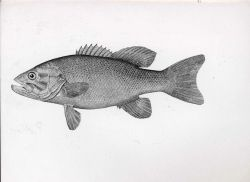 Drawing of bass Photo