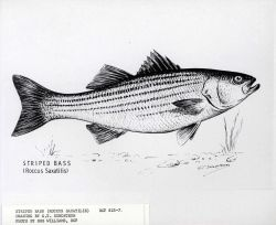 Striped bass (Roccus saxatilis) drawn by G.T Photo