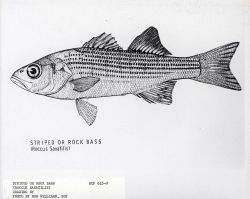 Striped or rock bass (Roccus saxatilis) Photo
